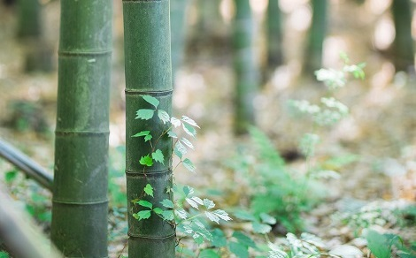 bamboo culms in forest